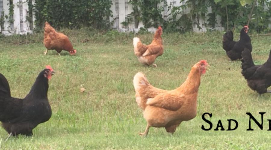 Bye-Bye, Chickens…